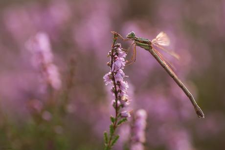 Purple stay