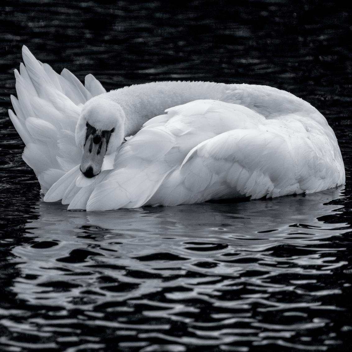 Swan in B&W - ... - foto door Christiaan_zoom op 02-11-2018 - deze foto bevat: water, natuur, druppel, licht, dieren, veren, reflectie, zwaan, meer, watervogel, nederland, zwartwit, knobbelzwaan