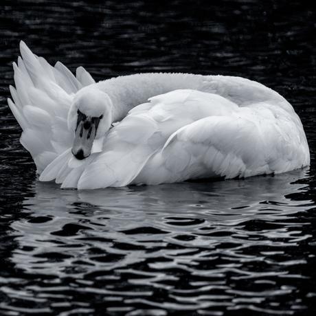 Swan in B&W