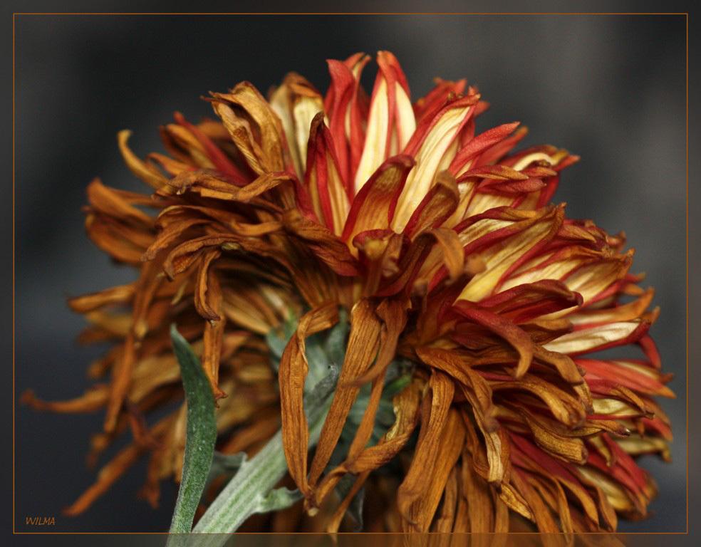 Bol Chrysant - Vanmiddag even snel de Bol Chrysant op de plaat vastgelegd, nu gaat ie naar de vuilnisbak Ook weer met behulp van de kussens op de bank  Iedereen  - foto door wilma71_zoom op 02-12-2010 - deze foto bevat: bloem, chrysant, vergaan