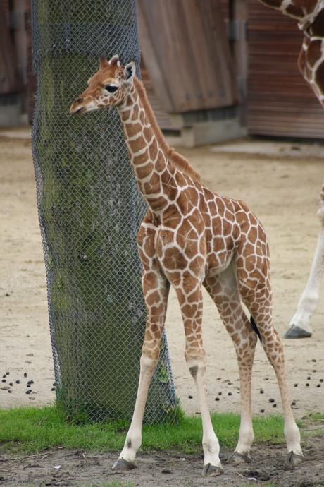 het jongste Girafje Blijdorp