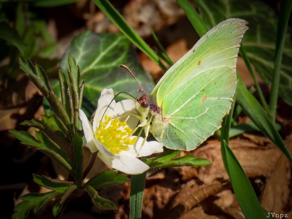 Anemoon met een Citroentje - het klinkt als een drankje - foto door Vissernpz op 01-04-2021 - deze foto bevat: groen, bloem, lente, natuur, vlinder, zomer, insect