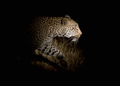 Hunting Leopard