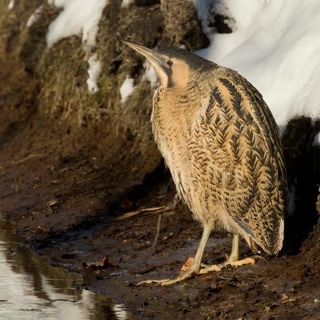 Een week geleden ... - Een week geleden...  Hoe wonderlijk is de natuur! Een week geleden waren we aan het genieten met een dik pak sneeuw en ijs. De Roerdomp kwam me zel - foto door willemdewolf op 20-02-2021 - deze foto bevat: water, vogel, watervogel