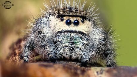 jumping spider ( Phidippus regius)
