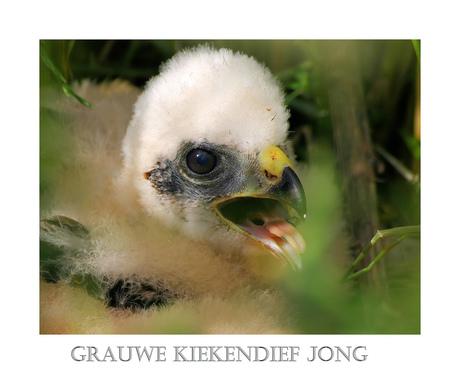 Grauwe Kiekendief jong