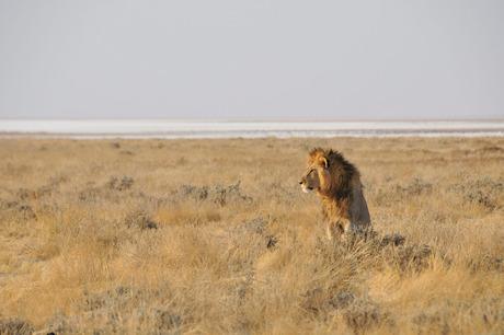 leeuw in de avondzon