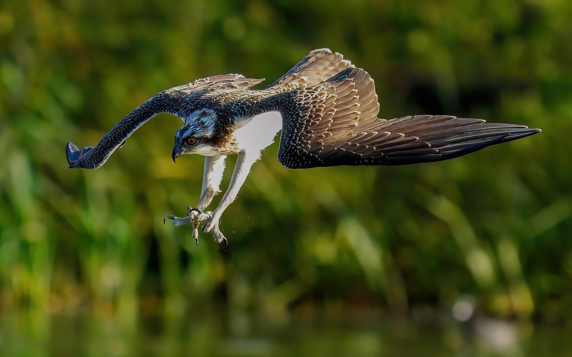 Visarend - Duikend naar vis - foto door Geertjeg op 07-04-2021 - deze foto bevat: vogel, bek, fabriek, veer, terrestrische dieren, vleugel, gras, zeevogel, staart, ciconiiformes