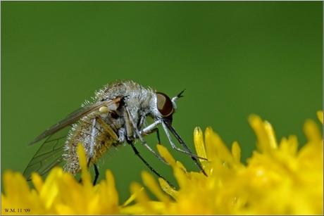 Bombyliidae-Geron