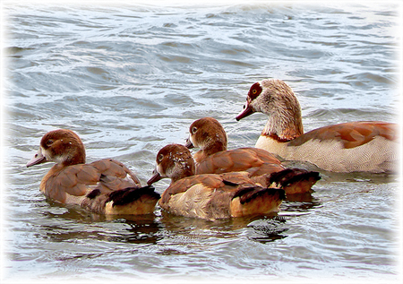 Kleintjes - Zoetermeer, 20 mei 2006  Een aantal nijlganzen gespot.  Hier dan ook de kleintjes erbij! - foto door daniel44 op 28-02-2007 - deze foto bevat: water, vogels, gans, nijlganzen, nijlgans, gansjes, watervogels, daniel44, kleintjes