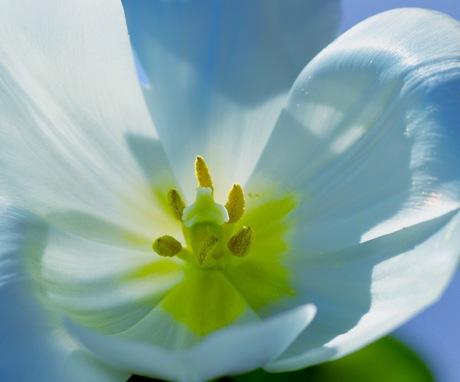 De tulp in het zonnetje gezet.