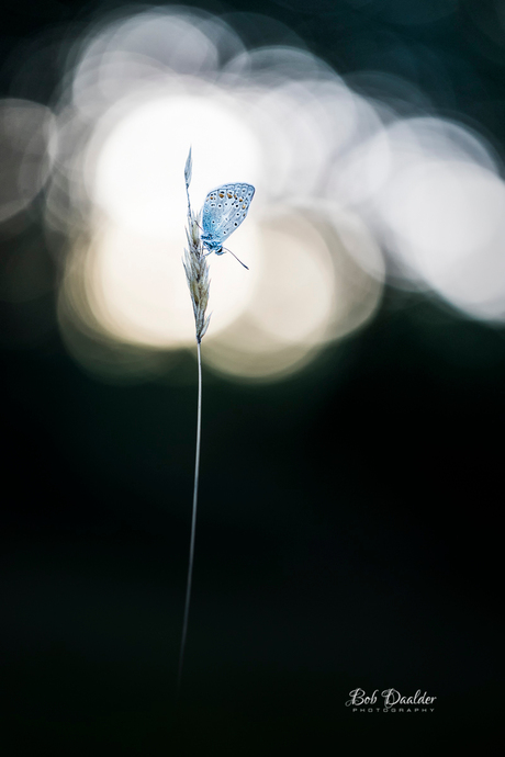 Butterfly at a setting sun