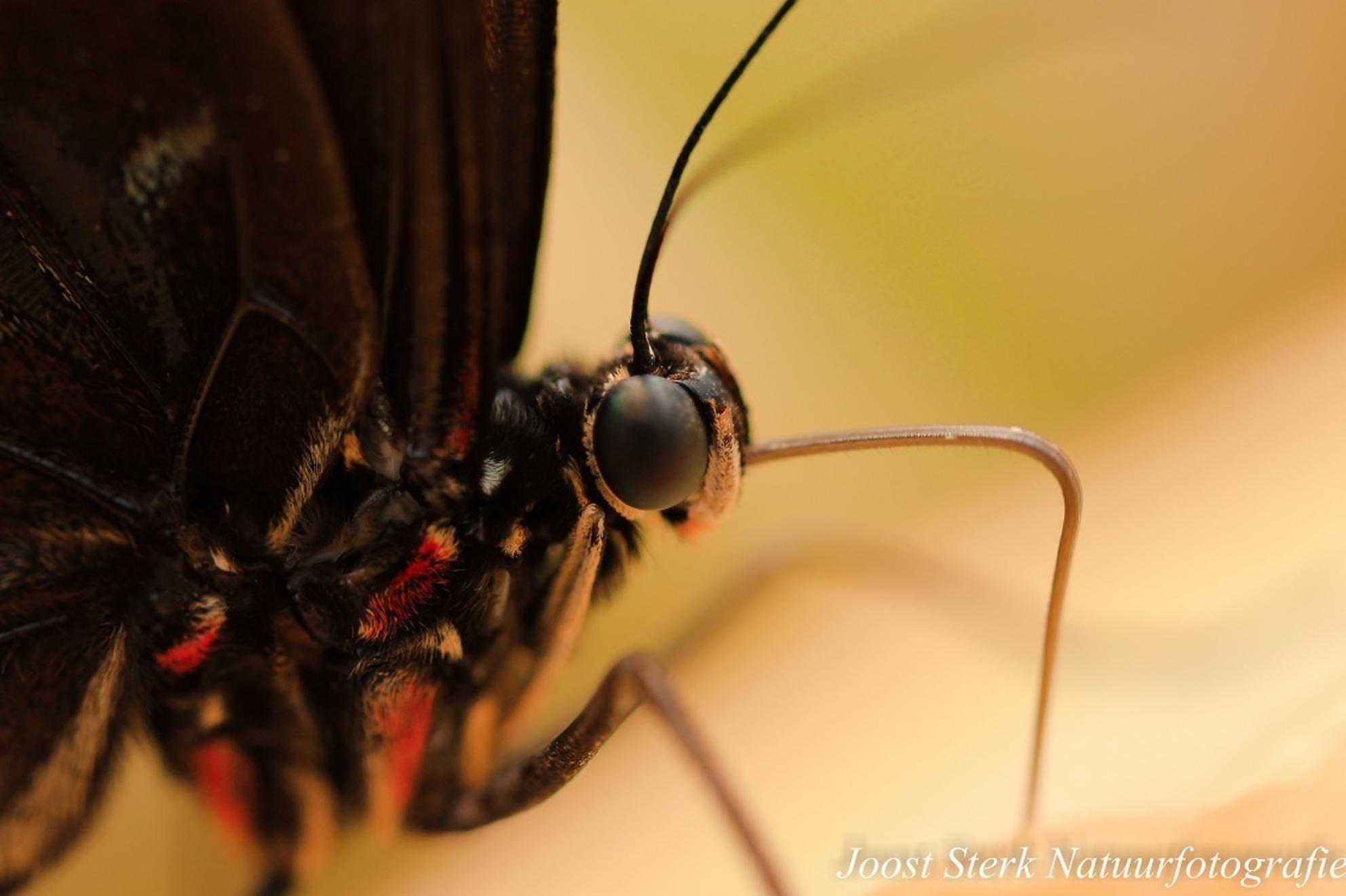 Butterfly upclose - Toen ik deze foto maakte had ik net een macrolens gekocht. Ik ging naar de Amazonica, de vlindertuin in blijdorp, en dit is het resultaat. - foto door joost-sterk op 14-06-2015 - deze foto bevat: macro, dierentuin, natuur, vlinder, dieren, blijdorp
