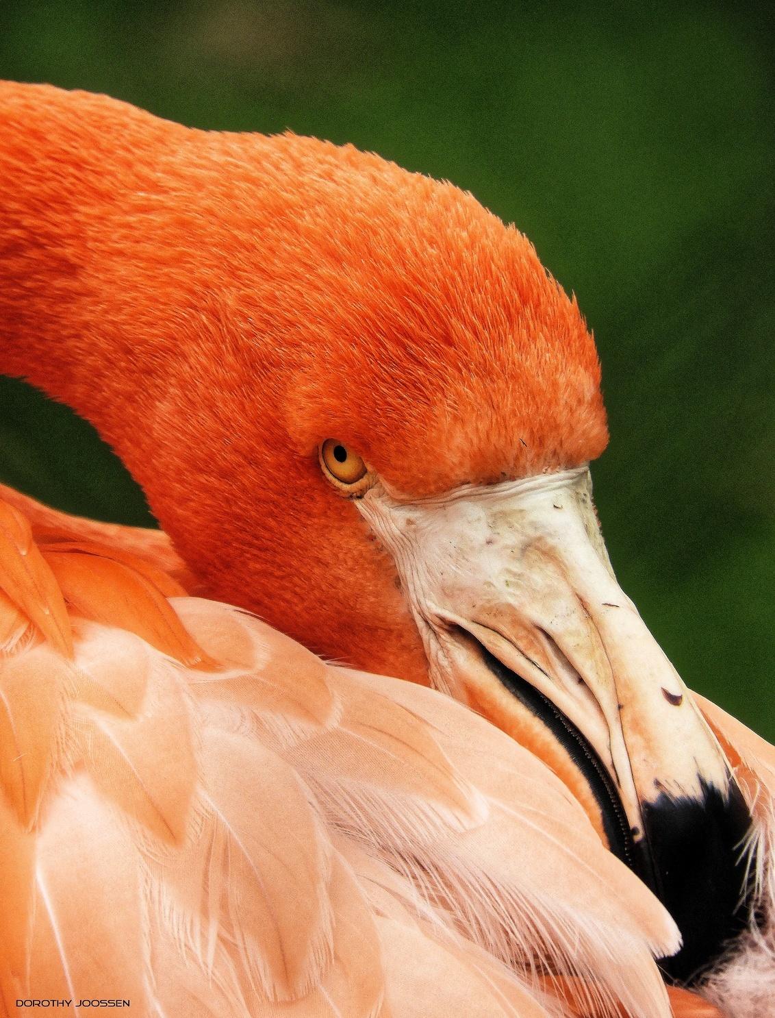 Cubaanse flamingo - Bedankt voor jullie reacties op mijn vorige upload. - foto door Dorothy op 19-02-2021 - deze foto bevat: dierentuin, dieren, cubaanse flamingo