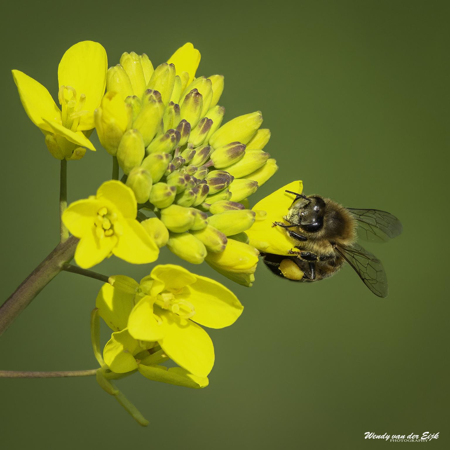 Hardwerkende honingbij - Deze bij is druk bezig met het verzamelen van nectar. - foto door FotoWendy op 22-04-2021 - locatie: Polder van Biesland, 2645 Delfgauw, Nederland - deze foto bevat: honingbij, bij, insect, bloem, geel, natuur, nectar, bloem, fabriek, bestuiver, geleedpotigen, insect, bloemblaadje, bloeiende plant, kruidachtige plant, detailopname, plaag