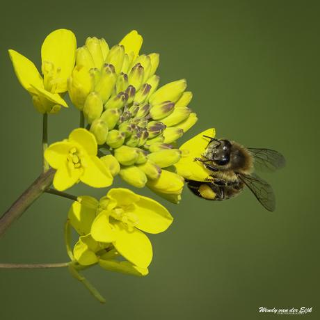 Hardwerkende honingbij
