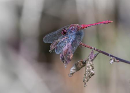 Opvallend - Deze libel stak zo mooi af tegen de softe wat kleurloze achtergrond dat ik dacht, kom, laat ik dan toch maar die zoveel duizendste libellenfoto maken - foto door PhotoMad op 23-09-2014 - deze foto bevat: rood, libel, insect