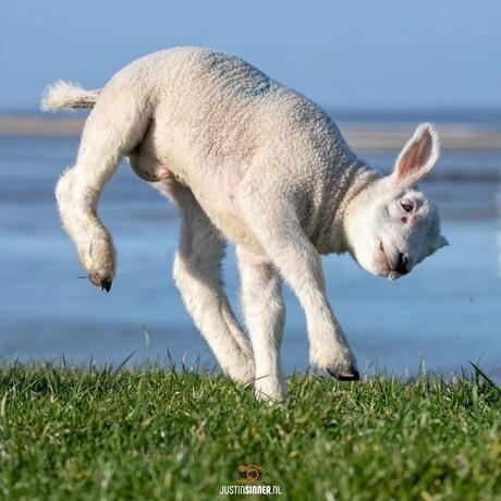 Lammetje maakt vreugde sprong!