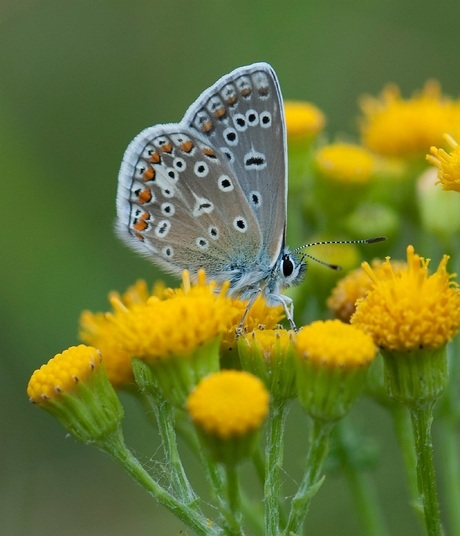 Irisblauwtje