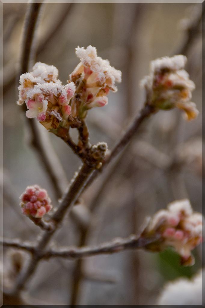 Frozen (2) - ......... - foto door loltjekampen op 03-12-2010 - deze foto bevat: bloem, sneeuw, winter