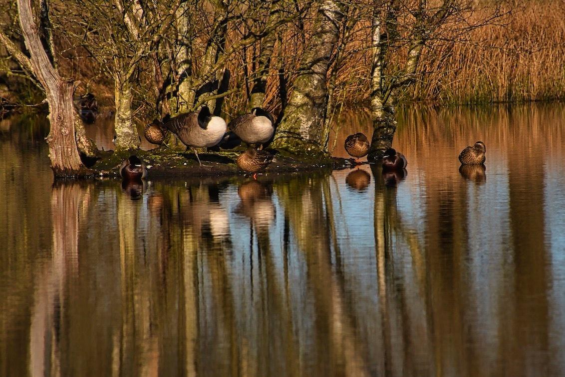 """Kopieërgedrag - Eergisteren was er nog één  """"tegendraadse"""" eend, nu staan de neuzen weer dezelfde kant op....weltrusten :)  Bedankt voor het bekijken en de reacti - foto door JerPet op 17-03-2021 - deze foto bevat: groen, boom, eenden, water, natuur, landschap, ganzen, meer, nederland"""