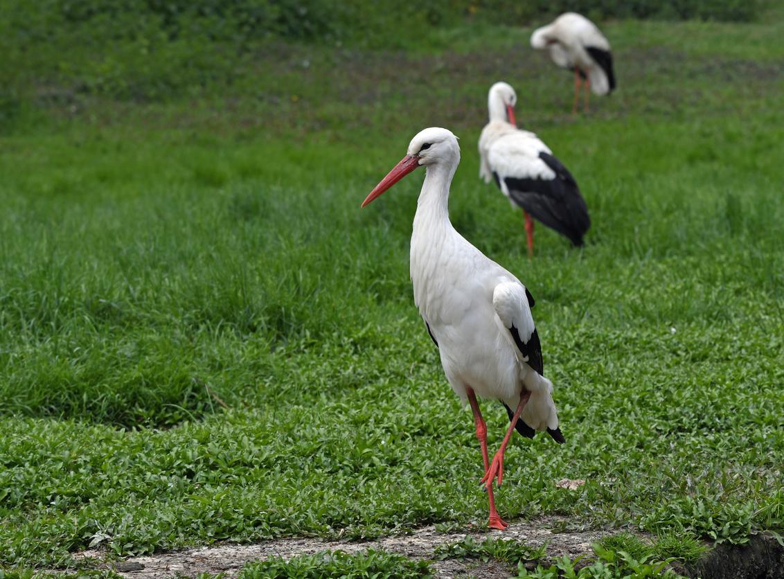 """3 op een rij - Naturzoo Rheine verzorgt een fokgroep ooievaars. Deze vogels zijn geleewiekt. Daarnaast heeft zich een omvangrijke kolonie """"wilde"""" ooievaars in en ro - foto door BasvanHulst-Kuiper op 15-06-2019 - deze foto bevat: dierentuin, ooievaar, dierenpark, zoo, naturzoo, Ciconia ciconia, Naturzoo Rheine, bas van hulst-kuiper, basvanhulst-kuiper"""