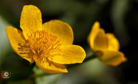 In het zonlicht - Het is voorjaar dus ik dacht laat ik eens een opname  van een mooi  geel bloemetje plaatsen , ben benieuwd wat jullie hier van vinden.  Zoomers  - foto door jzfotografie op 25-03-2021 - deze foto bevat: groen, kleur, natuur, geel, bloemen, schaduw, voorjaar, zonlicht, nederland, contrast, dof, scherpte, stampertjes, steeltje, n-h, scherpteverloop