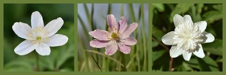bosanemoon roze bosanemoon dubbele-bosanemoon (Anemone nemorosa)