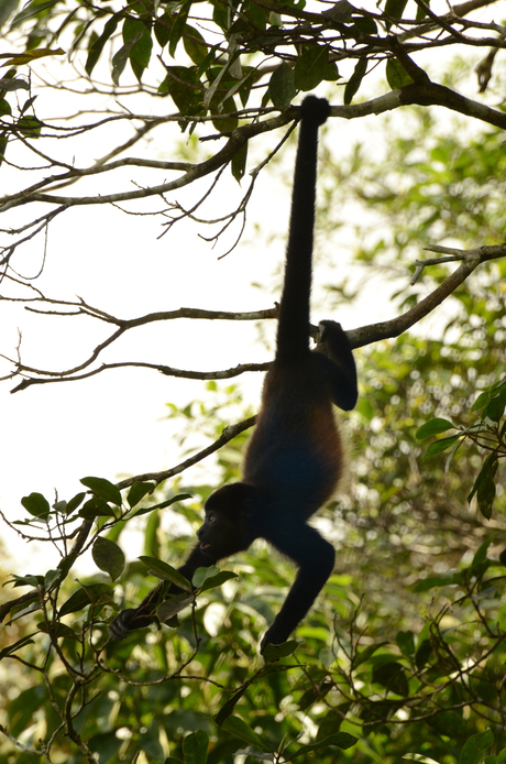 Hangend aapje