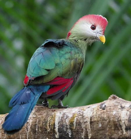 Tropische vogel 1 - Met de 100-400 mm lens lukte het me deze tropische vogel, die nogal fladderig is, vast te leggen. - foto door PhotoMad op 04-03-2019 - deze foto bevat: vogel, bird, tropische vogel