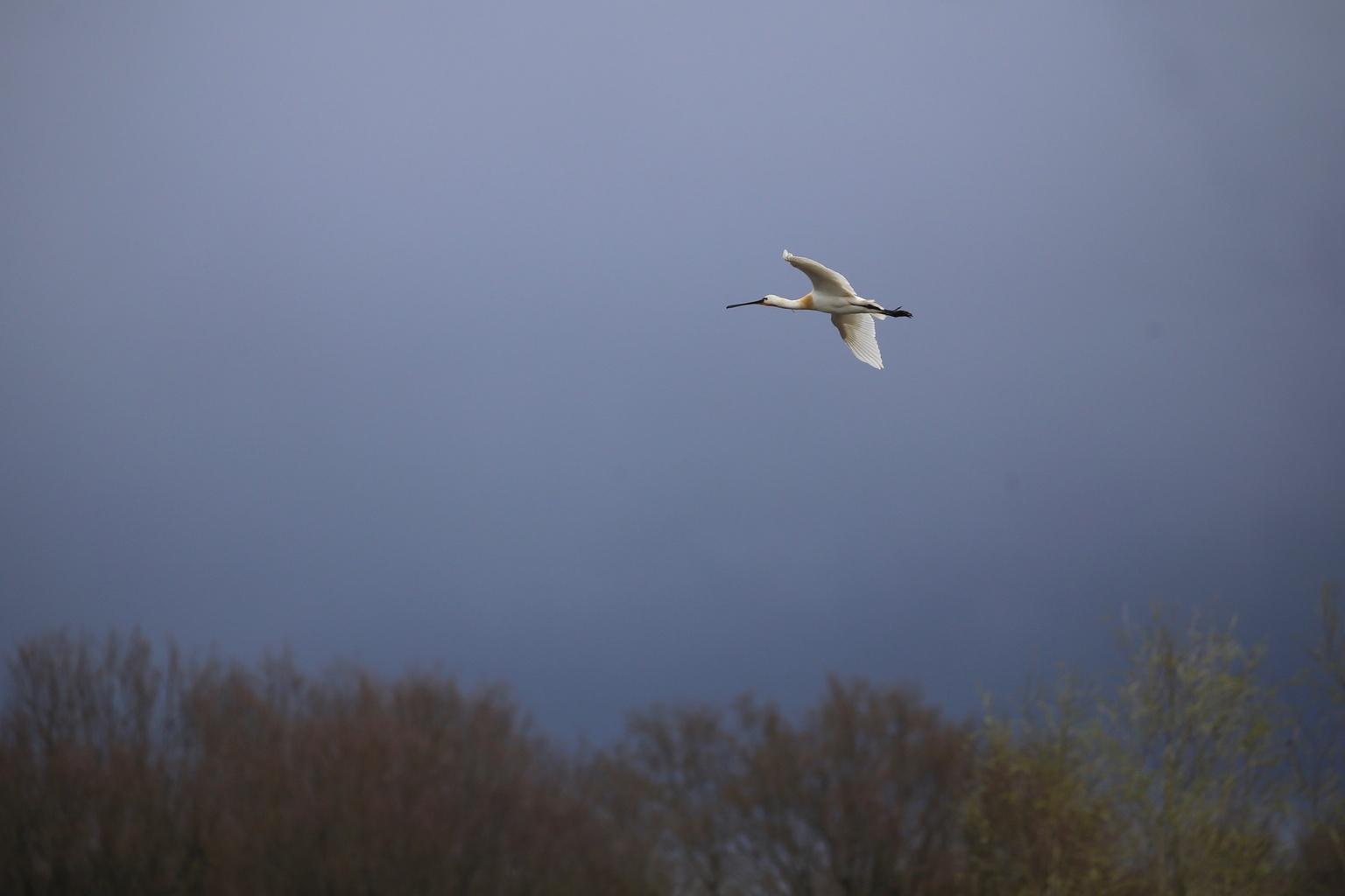 Lepelaar  - In vlucht tegen een donkere lucht - foto door Ebben op 11-04-2021 - deze foto bevat: lucht, vogel, atmosfeer, bek, atmosferisch fenomeen, veer, vleugel, boom, zeevogel, grasland