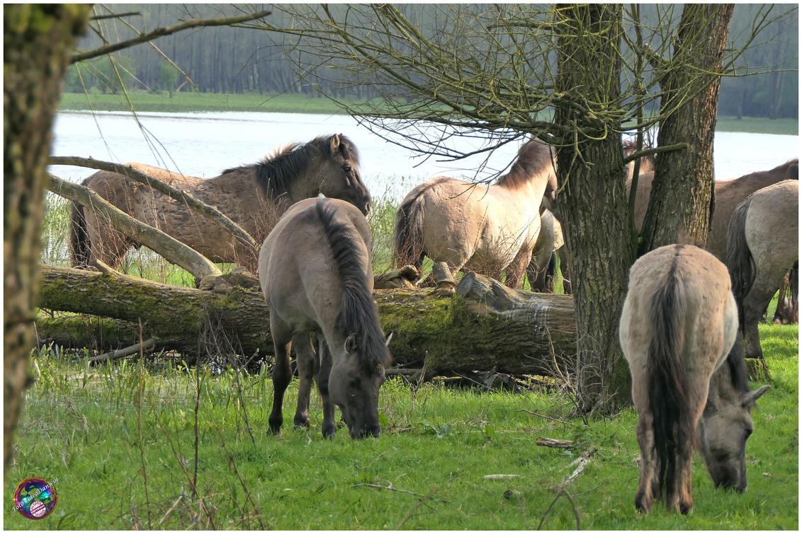 Konikpaarden ... - - - foto door willemdanker op 09-04-2019 - deze foto bevat: paarden, konikpaarden, zeewolde, Stille kern