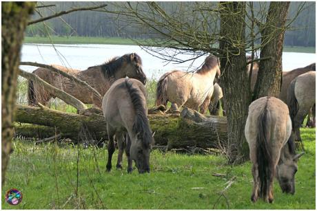 Konikpaarden ...