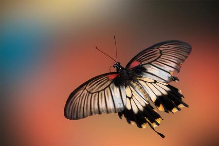 Papilio memnon vlinder - - - foto door ErwinWarbroek op 09-08-2020 - deze foto bevat: macro, natuur, vlinder, dieren