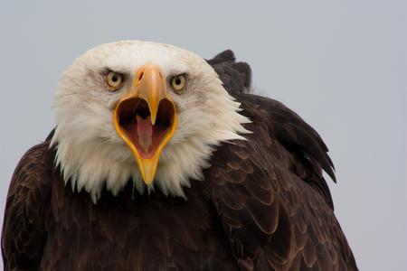 Amerikaanse Zeearend (Haliaeetus leucocephalus) - Deze zeearend is nogal 'impressive'... Volledig geïntimideerd door deze enorme vogel, heb ik in stilte deze foto geschoten... Schitterend... - foto door tamaravreeburg op 16-02-2013 - deze foto bevat: zeearend, roofvogels