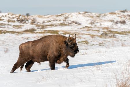 Wisent stier in de sneeuw - Vanmiddag geluksmomentje! Op het wandelpad, waar je echt niet af mag, staand kwam rustig aan deze imposante wisent stier aan lopen. Gelukkig pakte hi - foto door Marja8032 op 11-02-2021 - deze foto bevat: natuur, sneeuw, wildlife, wisent