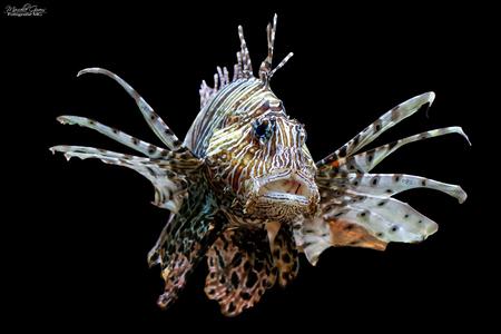 Koraalduivel - Koraalduivel die mooi poseerde voor mijn lens. - foto door Fotografiemg op 03-09-2020 - deze foto bevat: zee, dieren, vis, huisdier, vissen, aquarium, koraal, duivel, giftig, zoutwater, vinnen, Zee Aquarium, aquarium fotografie