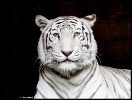 Witte Tijger_Ouwehands
