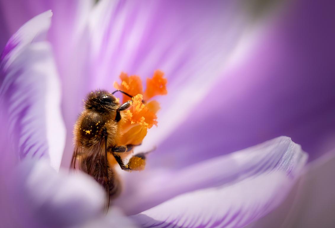 Aan het werk - Met het mooie weer zijn ook de bijtjes weer tevoorschijn gekomen. De krokusjes in het park werden druk bezocht. - foto door Berthe2 op 02-03-2021 - deze foto bevat: lente, bij, krokus, voorjaar, stuifmeel, honingbij, werkbij, berthe2