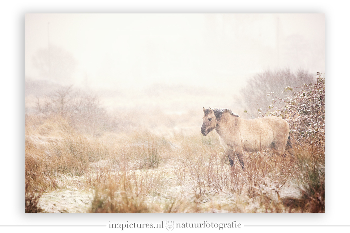Een koude middag - In het mooie natuurgebied Lentevreugd kreeg ik dit Konikpaard voor mijn lens. Dieren en sneeuw vind ik een magische combinatie. Zo ook hier... de mis - foto door in2picturesnature op 19-01-2021 - deze foto bevat: wit, natuur, sneeuw, winter, paard, landschap, koud, pastel, konikpaard
