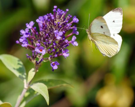 Dorstige vlinder