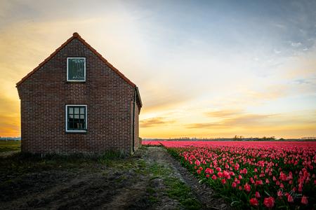 Bollenstreek - Toch nog een nostalgisch ogend schuurtje kunnen vinden bij de tulpen.  - foto door peterspostbus op 28-04-2021 - locatie: Bollenstreek, Nederland - deze foto bevat: bollenstreek, bollenvelden, bollenveld, landschap, schuur, zonsondergang, tulpen, tulpenveld, nederland, nederlandslandschap, peternijsen, peter nijsen, nederlands landschap, ptr, lucht, wolk, bloem, fabriek, atmosfeer, venster, ecoregio, natuurlijk landschap, gebouw, gras