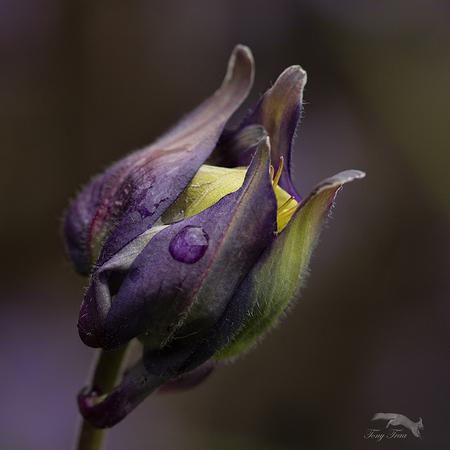 Akelei... - nog even beter weer en dan is hij open...  Gr.Tony - foto door Rohs op 05-05-2021 - locatie: Bakelse Bossen, 5709 Helmond, Nederland - deze foto bevat: akelei.paars.tuin, bloem, fabriek, purper, bloemblaadje, terrestrische plant, pedicel, bloeiende plant, macrofotografie, bod, plant stam