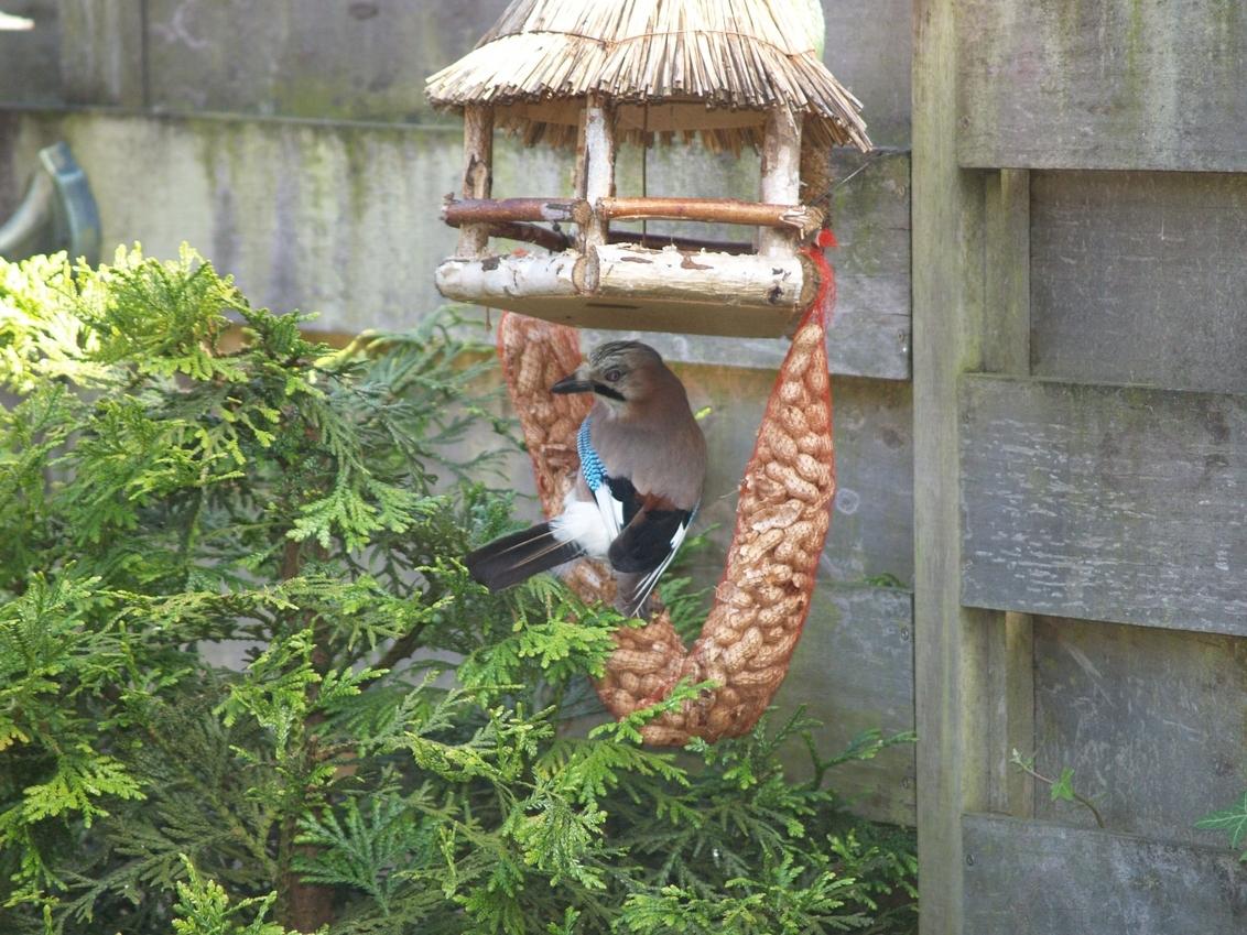 Spiedende Vlaamse Gaai - Vlaamse Gaai kijkt naar alle kanten om te zien of het veilig is om te eten. - foto door janbruijns op 05-05-2012 - deze foto bevat: tuin, Vlaamse Gaai