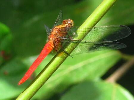 Small wildlife - Tijdens het wachten op Orang Oetans bij de voederplaats trok deze jongen mijn aandacht. - foto door Sabinegrooters op 21-02-2015 - deze foto bevat: libelle, insect, azie, jungle, maleisie, borneo, complementair