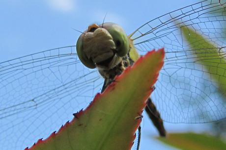 Libelle van onderaf gezien