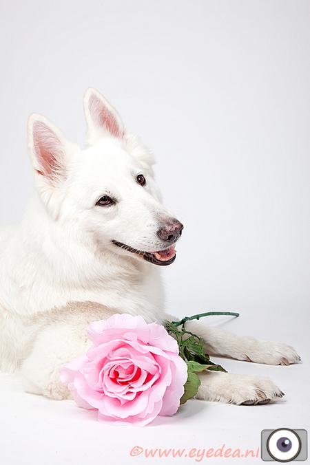 Tjoban - witte Herder - Een witte herder teef van 9 jaar oud. - foto door Anita Eye Dea op 28-04-2011 - deze foto bevat: roze, roos, huisdier, hond, studio, anita, huisdierfotografie, witte herder, eye dea