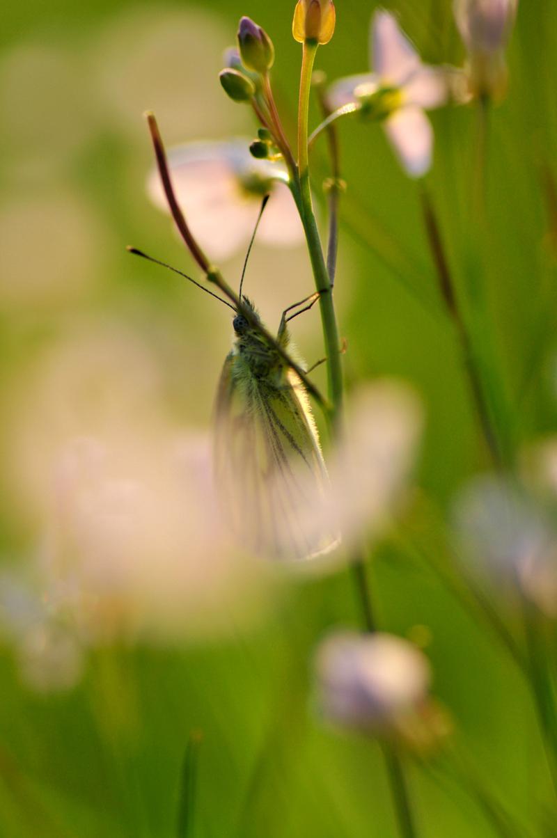 geadderd koolwitje - Te koud om te vliegen dus dan maar uitrusten. En genieten van het laatste zonlicht. - foto door jvos1972 op 10-05-2012 - deze foto bevat: geadderd koolwitje