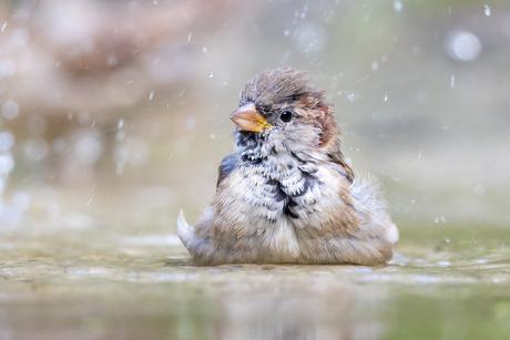 Een mus neemt een bad