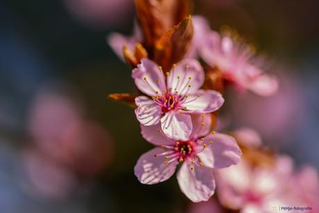 Prunus in bloei